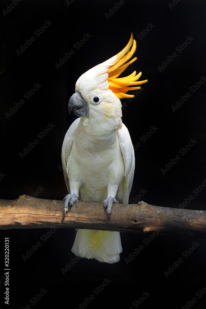 Fototapeta CLOSE-UP OF yellow crested cockatoo PERCHING OUTDOORS