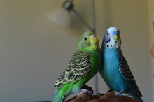 Budgerigars Perching On Woman Hand
