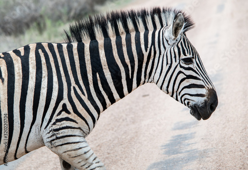 Close-Up Of Zebra On Dirt Road - fototapety na wymiar