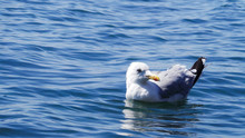 Close-up Of Seagull SWIMMING