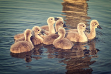 Close-Up Of Goslings Swimming In Lake