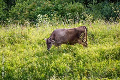 Cow grazing in a green meadow Canvas Print
