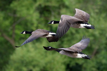 Canada Geese Flying Against Trees