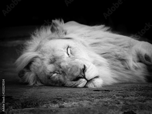 Canvas Close-Up Of Lion Sleeping On Field