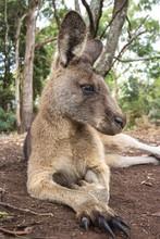 Close-Up Of Kangaroo Sitting On Field
