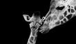 canvas print picture - Beautiful Cute Giraffe Playing