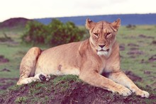 Lioness Resting On Field