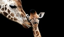 Beautiful Mom And Baby Giraffe