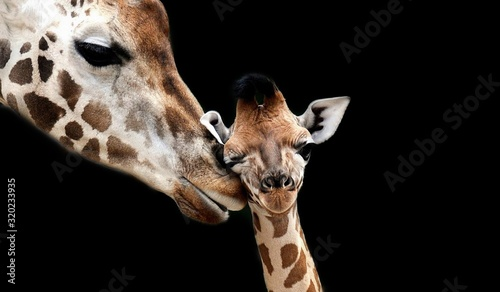 Photo Beautiful Mom And Baby Giraffe