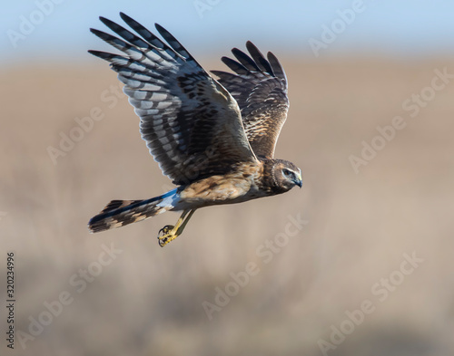 Northern Harrier in flight Wallpaper Mural