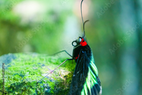Photo Rajah Brooke black and green birdwing  butterfly