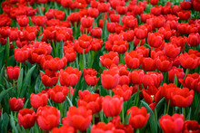 Large Field Of Red Tulips