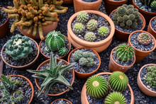 Group Of Cacti In Brown Pots