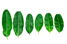 Collection Of The Banana Leaf Isolate On White Background With Clipping Path. Top View Of The Banana Leave On White Background.
