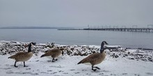 Canada Gooses Walking At Snow Covered Beach Against Cloudy Sky