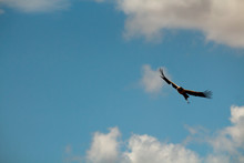 Low Angle View Of Vulture Flying In Sky