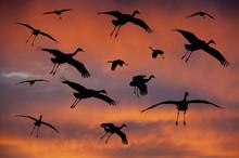 Sandhill Cranes Landing In The...