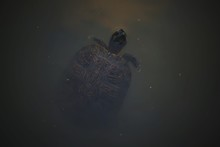 High Angle View Of Turtle In Pond