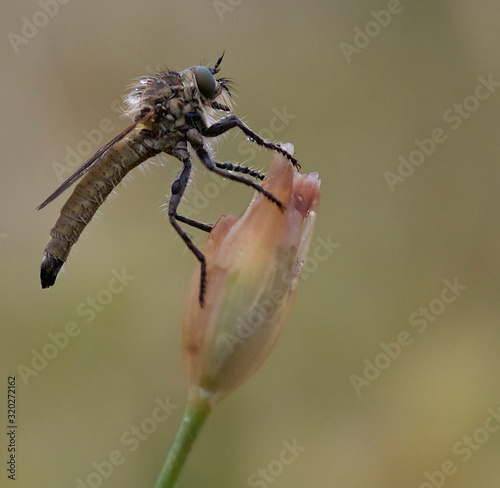 Obraz na plátne Detalle mosca asesina Asilidae sspps