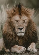 Lion Resting On Field