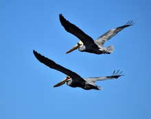 Low Angle View Of Pelicans Flying Against Clear Blue Sky