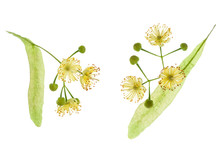 Two Linden Tree Flower With Pe...