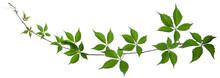 Wild Vine Branch With Green Fr...