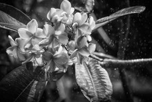 Plumeria Flowers In The Rain W...