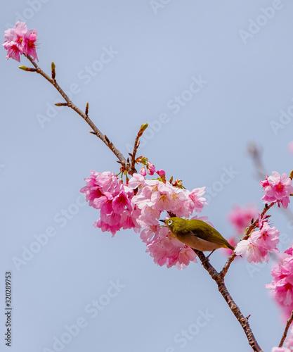 Fototapeta 桜とメジロ