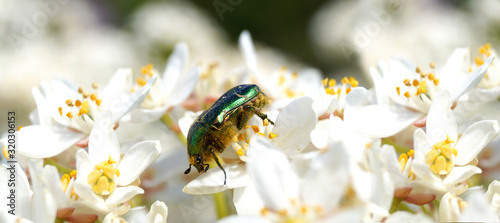 Fotografiet Panoramic image of Cetonia aurata, Rose chafer or the green rose chafer on white flowers of Choisya ternata or Mexican orange blossom