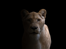 Female Lion  In Dark Background