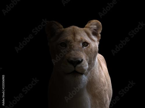 female lion  in dark background