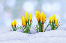 Crocus In The Snow, Spring Yel...