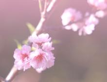 Soft Dreamy Of  Pink Sakura Fl...