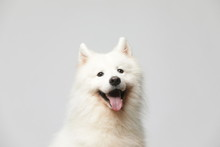 The Samoyed Dog Makes A Variet...