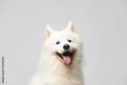 Papel de parede The samoyed dog makes a variety of naughty and lovely, happy and sad expressions