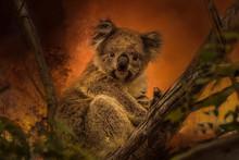 Kanfgaroo Island, South Australia- December 2019: Koala On A Eucalyptus Tree In An Approaching Bushfire.