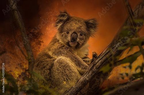 Photo Kanfgaroo Island, South Australia- December 2019: Koala on a eucalyptus tree in an approaching bushfire