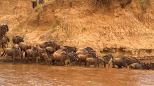 Wildebeests Climbing Down The ...