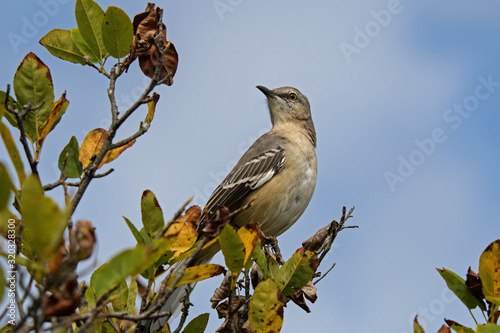 Fotomural Northern mockingbird on branch