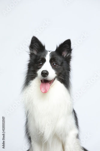 Cuadros en Lienzo Against the gray and white background, the border collie makes a variety of naughty and lovely, happy and sad expressions