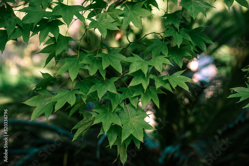 Bright leaves of acer serrulatum Wallpaper Mural