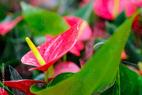 Anthurium Wedding Flower Wallpaper Mural