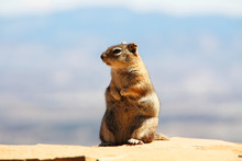 Squirrel In Bryce Canyon USA