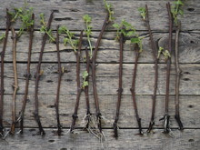 Cutting Grapes. New Sprouts On The Stalks Of Grapes On A Wooden Ancient Background. Propagation Of Grapes.