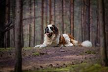 Sain Bernard Dog Laying In Forest