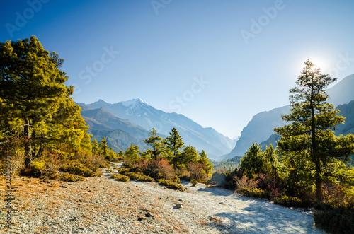 Obraz Trekking route among pine trees in Marshyangdi river valley between Ngawal and Bhraka villages. Pisang peak on the horizon. Annapurna circuit trek, Nepal. - fototapety do salonu