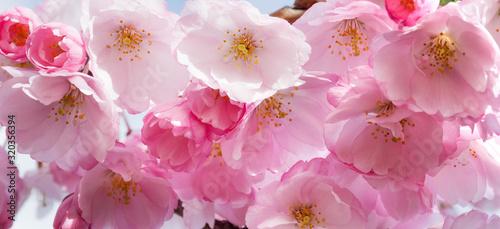 Flowering pink flowers sakura, macro close-up outdoor on soft blurred light background Canvas Print