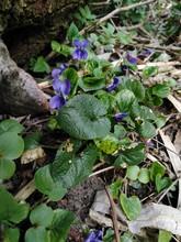 Fiołek Leśny (viola Reichenbachiana)