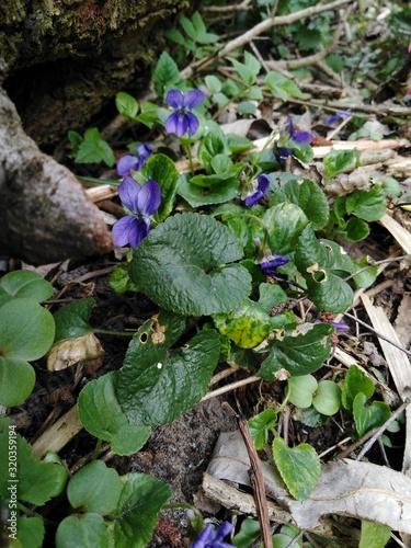 Fototapeta fiołek leśny (viola reichenbachiana) obraz